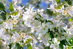 De boombloemen van de appel Royalty-vrije Stock Afbeelding