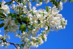 De boombloemen van de appel Royalty-vrije Stock Afbeeldingen