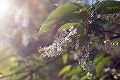 De boombloemen van de appel Royalty-vrije Stock Fotografie