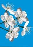 De boombloemen van de kers op blauw Royalty-vrije Stock Afbeeldingen