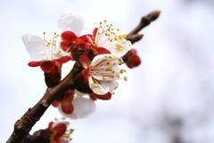 De boombloemen van de pruim Royalty-vrije Stock Afbeeldingen