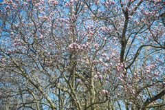 De boombloemen van de magnolia sluiten de roze bloesem, omhoog tak stock foto