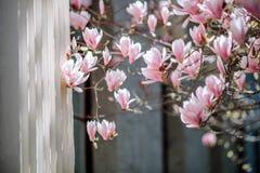 De boombloemen van de magnolia sluiten de roze bloesem, tak, omhoog openlucht royalty-vrije stock foto's