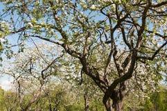De boombloesem van de appel Tuin in de zomer nave royalty-vrije stock afbeeldingen