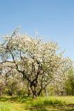De boombloesem van de appel Tuin in de zomer nave stock afbeelding