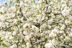 De boombloesem van de appel Tuin in de zomer nave stock fotografie