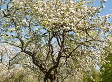 De boombloesem van de appel Tuin in de zomer nave royalty-vrije stock fotografie