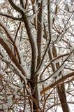 De boombloesem van de amandel Stock Afbeeldingen