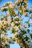 De boombloesem van de appel Royalty-vrije Stock Fotografie