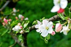 De boombloesem van de appel stock afbeelding
