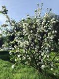 De boombloesem van de appel Stock Afbeeldingen
