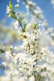De boombloesem van de appel Zonnige dag Blauwe hemel Royalty-vrije Stock Foto