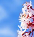 De boombloesem van de kers stock afbeeldingen