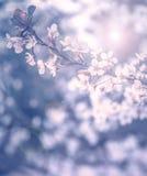 De boombloesem van de kers Stock Fotografie