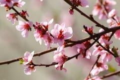 De boombloesem van de kers Stock Foto
