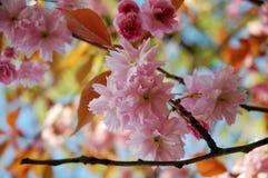 De boombloesem van de kers in de lente Stock Foto