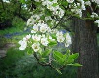 De Boombloesems en Bladeren die van de lenteapple omhoog naar het Zonlicht gluren stock foto's
