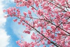 Stock foto japans wit oog op een boom van de bloesem van de kers