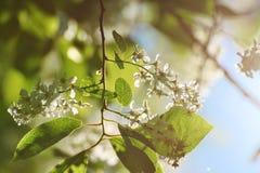 De boombloesems van de kers Stock Afbeeldingen