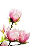 De boombloesems van de magnolia Stock Foto's