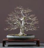 De boombonsai van de linde Stock Foto's