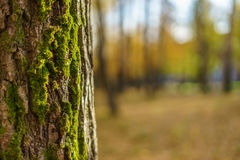 De boomboomstam met mos wordt behandeld dat Royalty-vrije Stock Fotografie