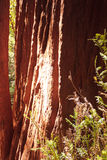 De boomboomstam van de Californische sequoia in middag Stock Foto's