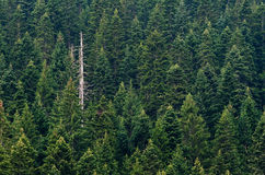 De boombos van de pijnboom Royalty-vrije Stock Foto