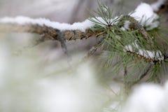 De boomdetail van de pijnboom Stock Afbeeldingen