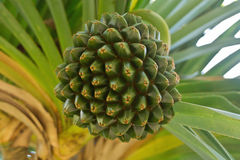 De Boomfruit van de schroefpijnboom Stock Afbeeldingen