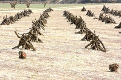De boomgaard die als een slaggebied kijken, met zijn fruitbomen cutted stock foto