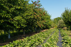 De boomgaard met kersen en aardbeien Stock Afbeeldingen