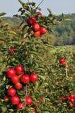 De Boomgaard van appelen Stock Foto