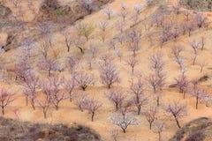 De Boomgaard van de amandel in de Lente Stock Foto's