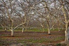 De Boomgaard van de amandel in de Winter Stock Afbeelding