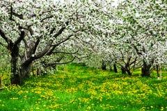 De boomgaard van de appel royalty-vrije stock foto's