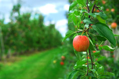 De boomgaard van de appel Stock Foto