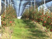 De boomgaard van de appel Stock Afbeeldingen