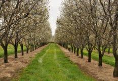De Boomgaard van de appel in bloei stock fotografie