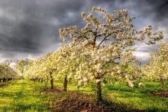 De boomgaard van de appel in bloesem Royalty-vrije Stock Foto