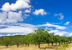 De boomgaard van de appel op blauwe hemel Royalty-vrije Stock Fotografie