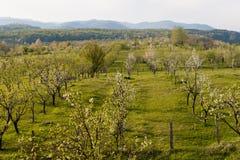 De boomgaard van de appel terwijl het bloeien Stock Afbeelding