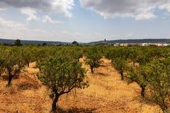 De Boomgaard van de Bomen van de amandel Stock Foto's
