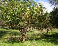 De boomgaard van de citroenboom Stock Foto