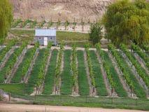 De Boomgaard van de druif Stock Foto