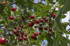 De boomgaard van de kers Stock Fotografie