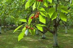 De boomgaard van de kers Stock Foto's