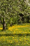 De boomgaard van de lente Stock Afbeeldingen