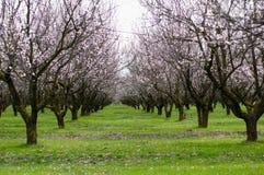De boomgaard van de lente Royalty-vrije Stock Afbeeldingen