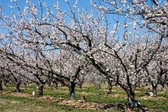 De boomgaard van de lente Royalty-vrije Stock Afbeelding